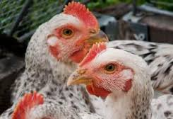 Local_Chicken_Ecotypes_Ethiopia