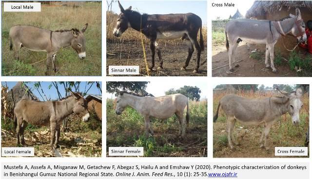 GA._donkeys_in_Benishangul_Gumuz_National_Regional_State-1